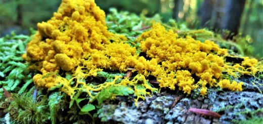 yellow fungi on log